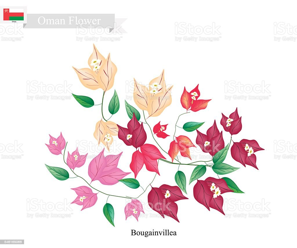 Bougainvillea Flowers, The Native Flower of Oman - ilustración de arte vectorial