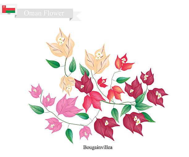 Bougainvillea Flowers, The Native Flower of Oman - ilustración de arte vectorial