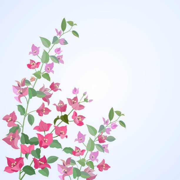 Flores de buganvillas. - ilustración de arte vectorial