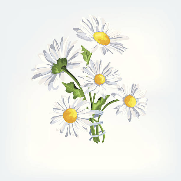 Bouquet camomile with ribbon - Illustration Bouquet camomile with ribbon. Greeting card with beautiful flowers.Card for Mothers Day. chamomile plant stock illustrations