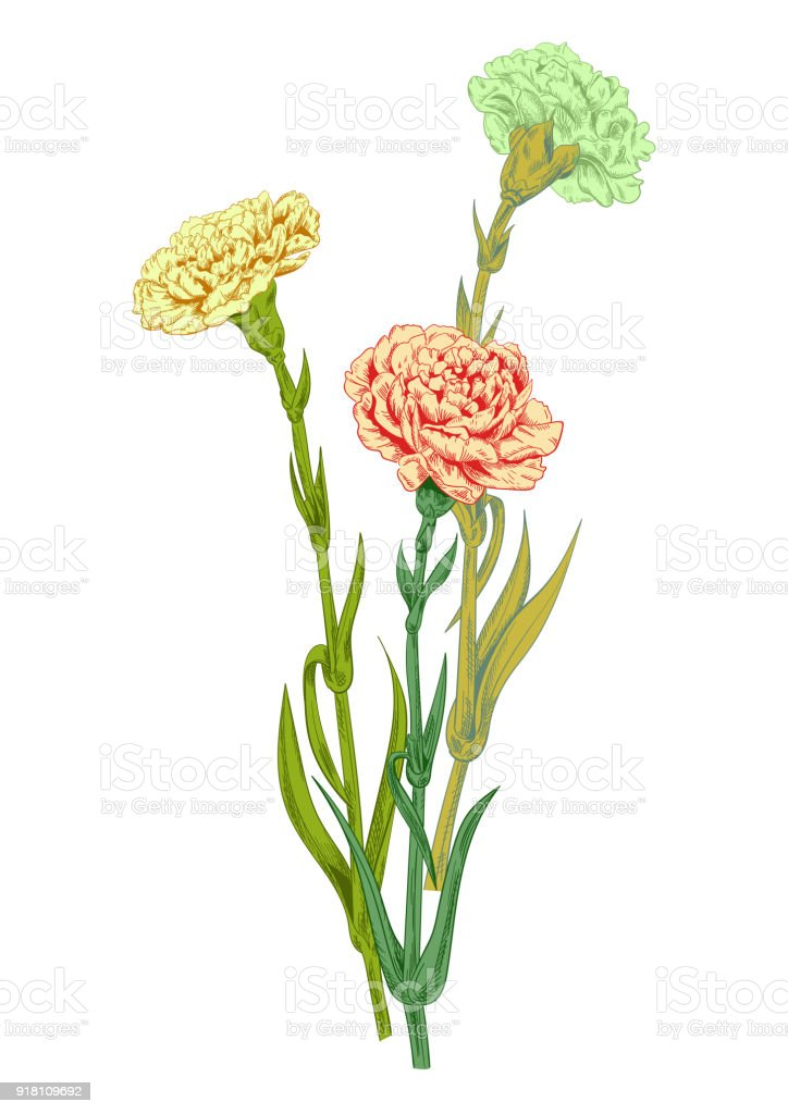 Bouquet carnation schabaud pink yellow white flowers green stems bouquet carnation schabaud pink yellow white flowers green stems leaves on mightylinksfo