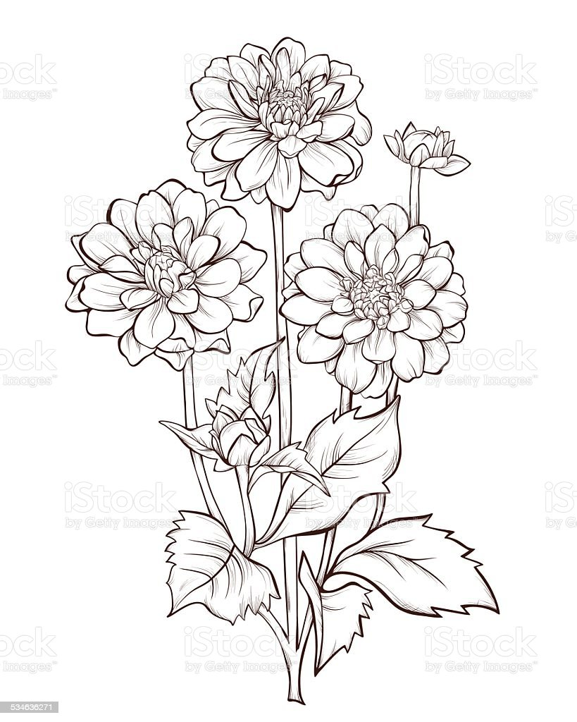 Dahlia Flower Line Drawing : Bouquet of dahlia flowers isolated stock vector art