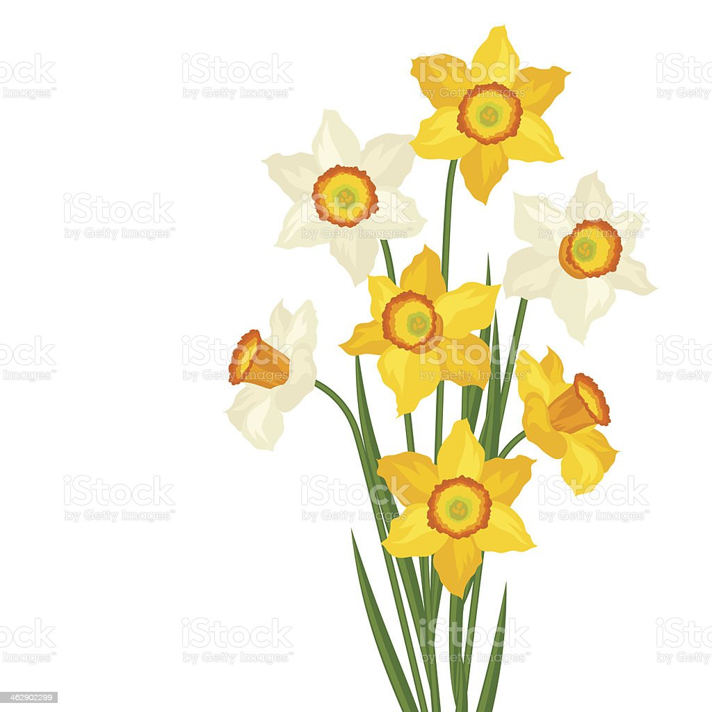 Bouquet of flowers narcissus on white background. vector art illustration