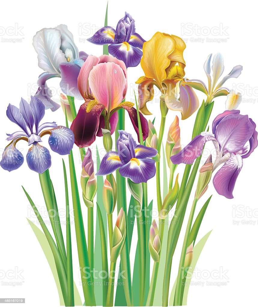 Bouquet Of Iris Flower Stock Vector Art More Images Of Arrangement