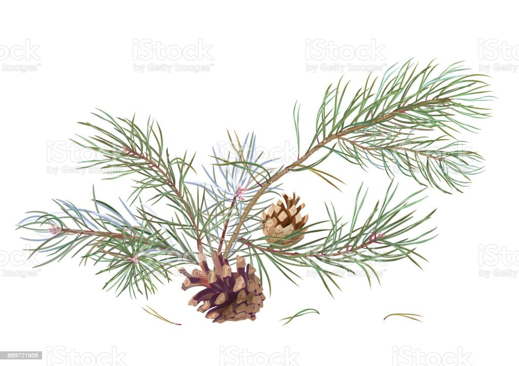 Bouquet Of Pine Branches And Cones Needles On White