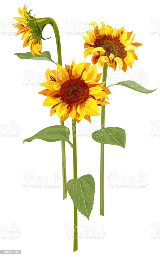 Bouquet of three Sunflower: yellow, orange flowers, bud, green leaves on white background, floral elements for design. Digital draw, vector illustration in watercolor style