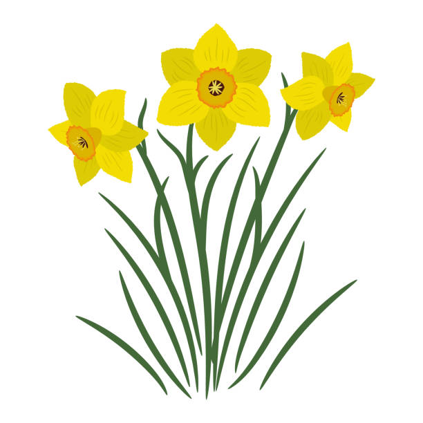 Bouquet of yellow daffodils on a white background Bouquet of yellow daffodils on a white background. It can be used as an design element in projects and compositions. Vector illustration daffodil stock illustrations