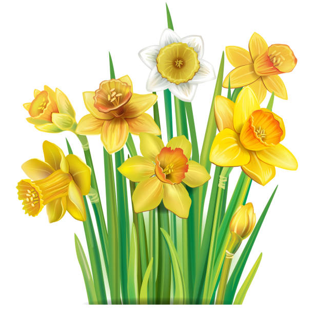 Bouquet of yellow daffodils on Bouquet of yellow daffodils on the white background daffodil stock illustrations