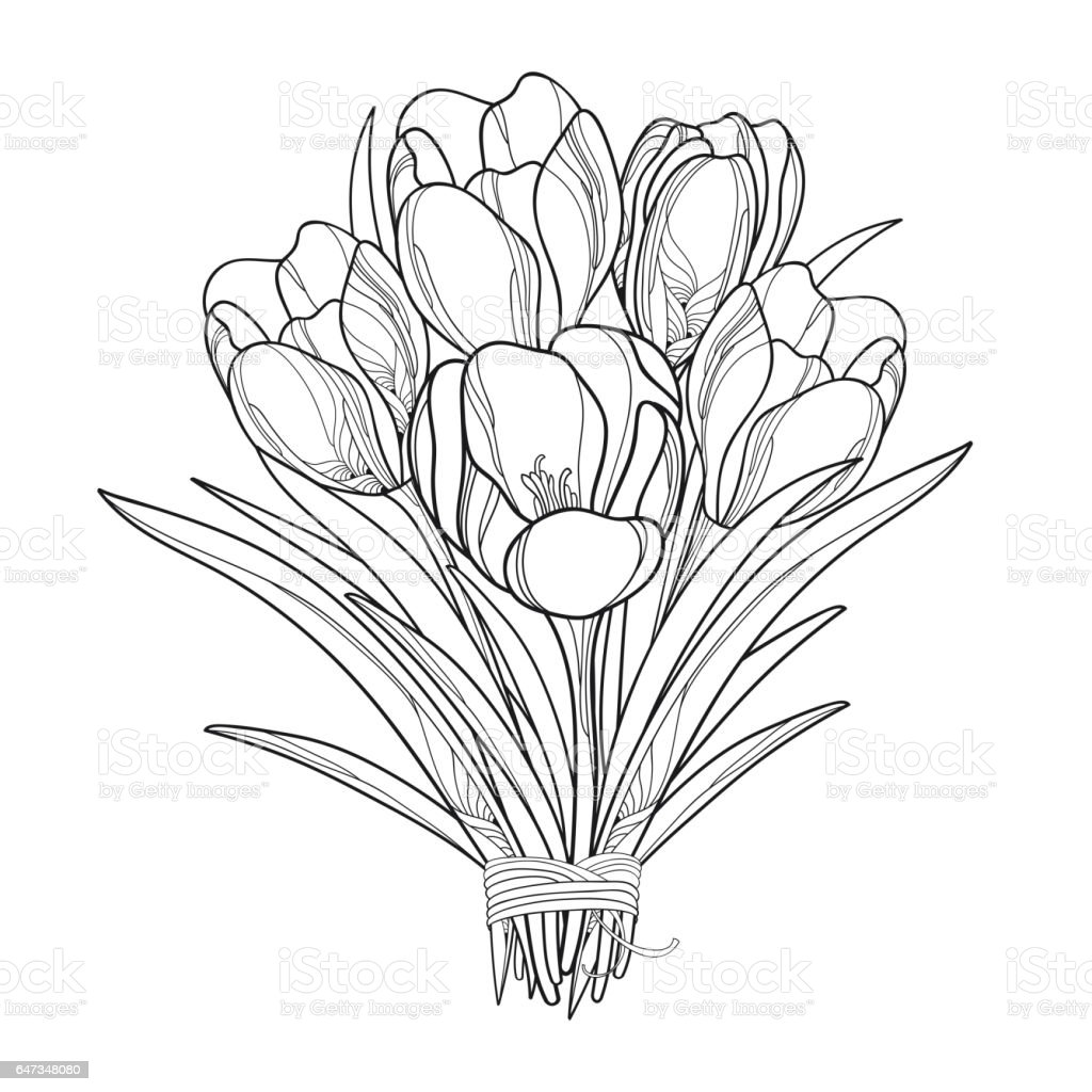 Bouquet with outline crocus or saffron flowers isolated on white bouquet with outline crocus or saffron flowers isolated on white royalty free bouquet with mightylinksfo Gallery