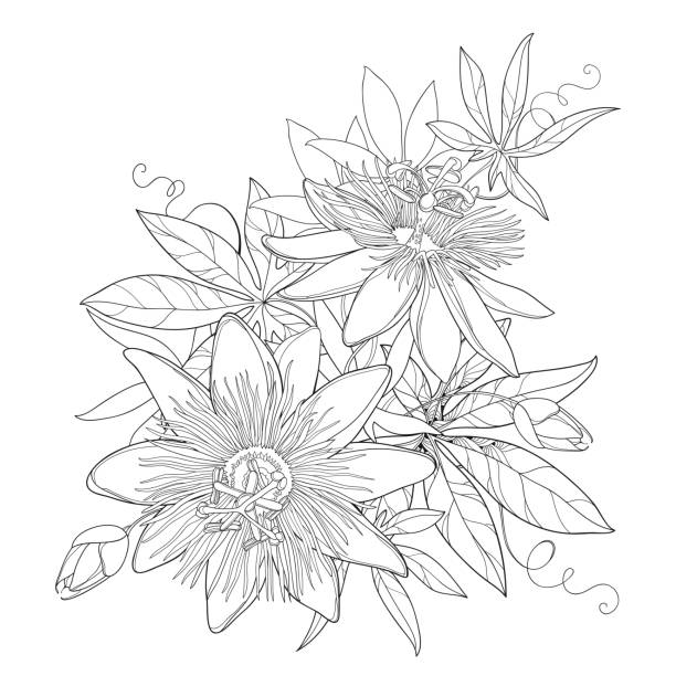 Passion Flower Line Drawing : Royalty free passion flower clip art vector images