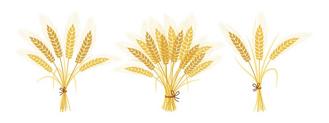 Bouquets wheat spikelets set ears spikelets vector