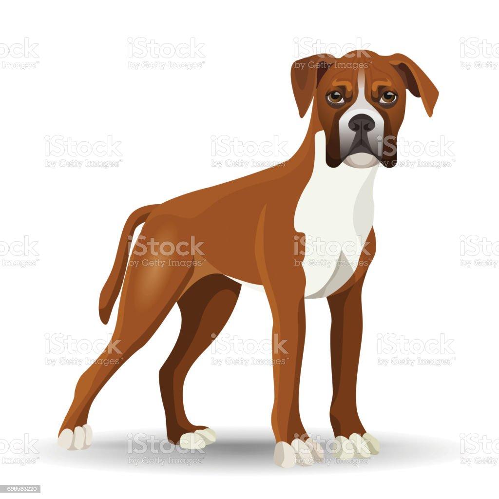 Boxer Dog Full Length Vector Illustration Isolated On White Stock ...