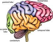 Brain anatomy diagram