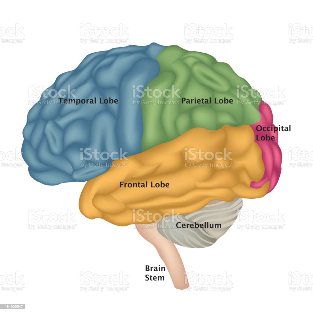 Brain Anatomy Stock Vector Art More Images Of Anatomy 484605547