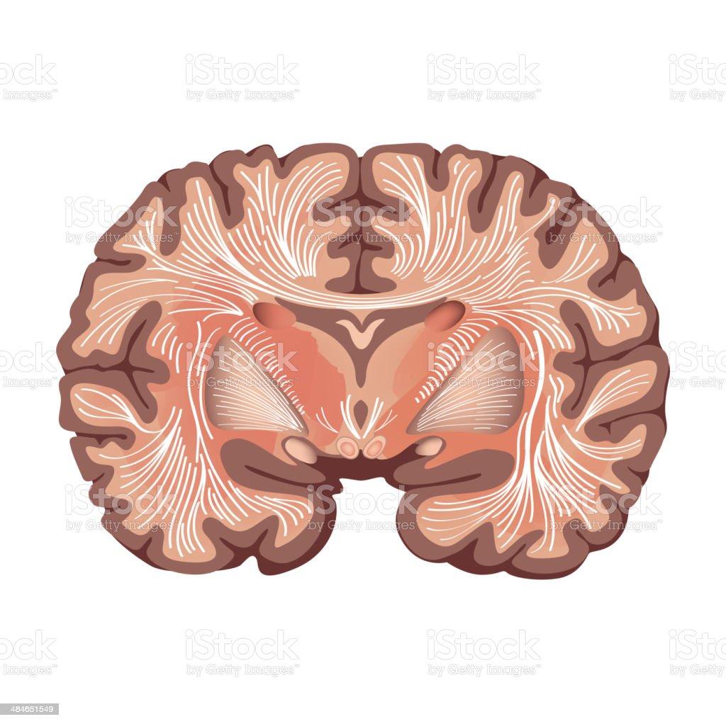 Cerebro Anatomía - Arte vectorial de stock y más imágenes de ...