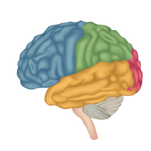Brain anatomy. Brain anatomy. Human brain lateral view. Illustration isolated on white background.  occipital lobe stock illustrations