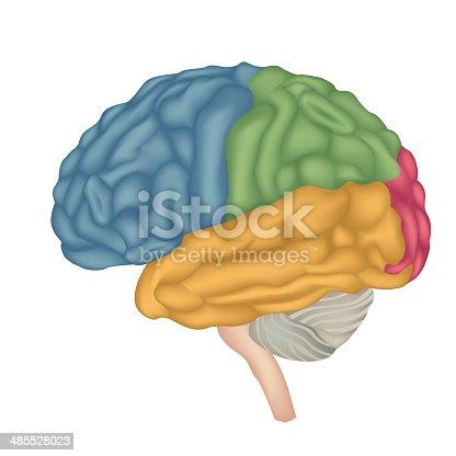 Brain Anatomy Stock Vector Art More Images Of Anatomy 485528023