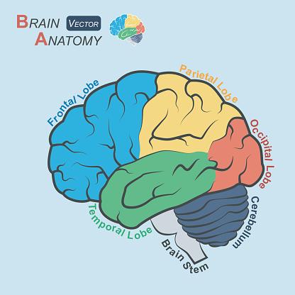 Brain anatomy ( Flat design )  ( Frontal lobe , Temporal Lobe , Parietal Lobe , Occipital Lobe , Cerebellum , Brain stem )