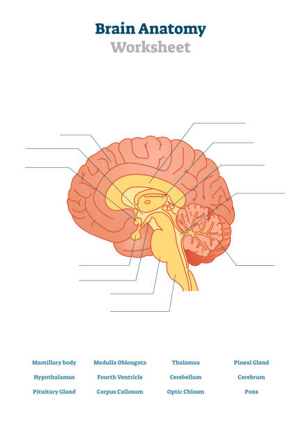 Brain anatomy vector illustration. Anatomical blank head organ structure. vector art illustration