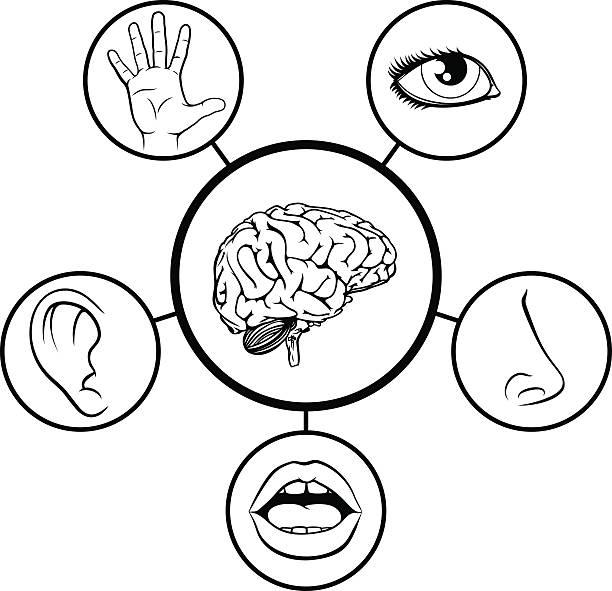 brain and five senses - farbwahrnehmung stock-grafiken, -clipart, -cartoons und -symbole