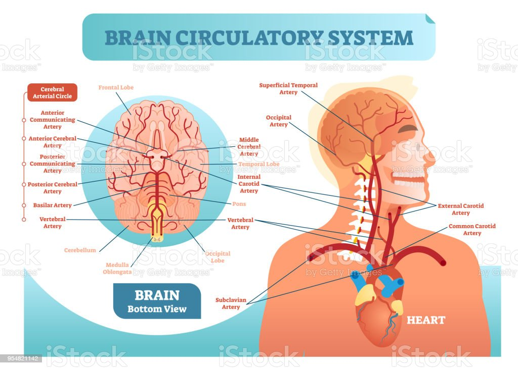 Brain circulatory system anatomical vector illustration diagram brain circulatory system anatomical vector illustration diagram human brain blood vessel network scheme cerebral ccuart Image collections