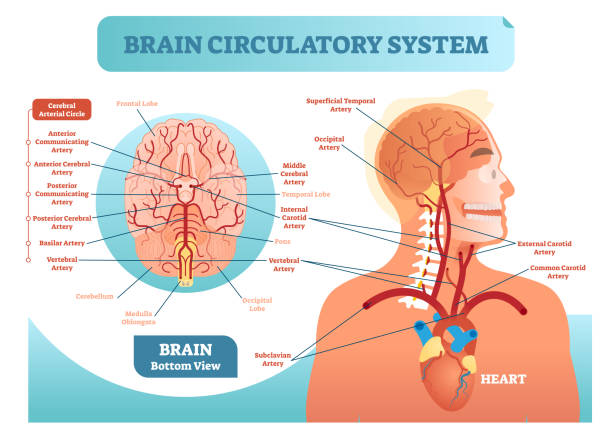 Brain circulatory system anatomical vector illustration diagram. Human brain blood vessel network scheme. Cerebral medicine information. Brain circulatory system anatomical vector illustration diagram. Human brain blood vessel network scheme. Blood cycle from heart to brains. medical diagram stock illustrations