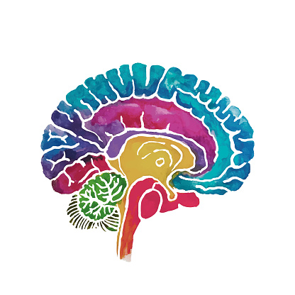 Brain Cross Section Water Color Cut Out