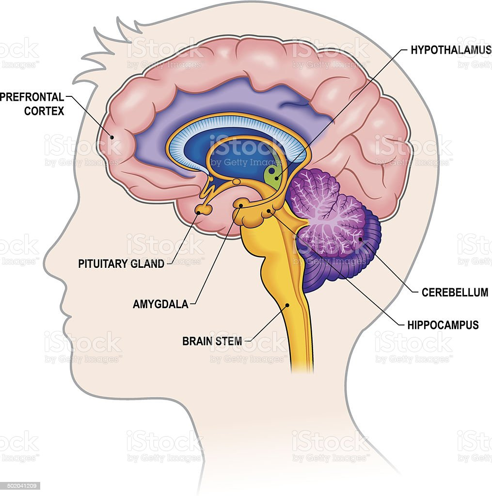Brain Cross-section with labels vector art illustration