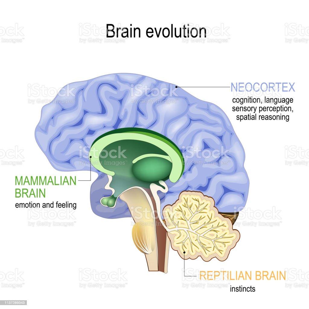 Brain Evolution Triune Brain Reptilian Complex Mammalian