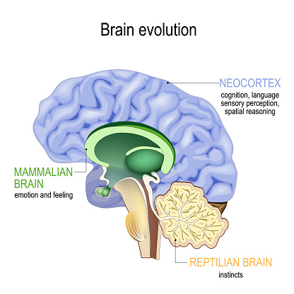 Brain evolution. Triune brain: Reptilian complex (basal ganglia for instinctual behaviours), mammalian brain (septum, amygdalae, hypothalamus, hippocamp for feeling) and Neocortex (cognition, language, sensory perception, and spatial reasoning).  Cross section of the human brain. Vector illustration for medical, biological, educational and science use