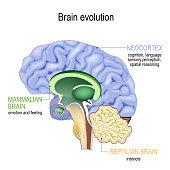 istock Brain evolution. Triune brain: Reptilian complex, mammalian brain and Neocortex 1137289343