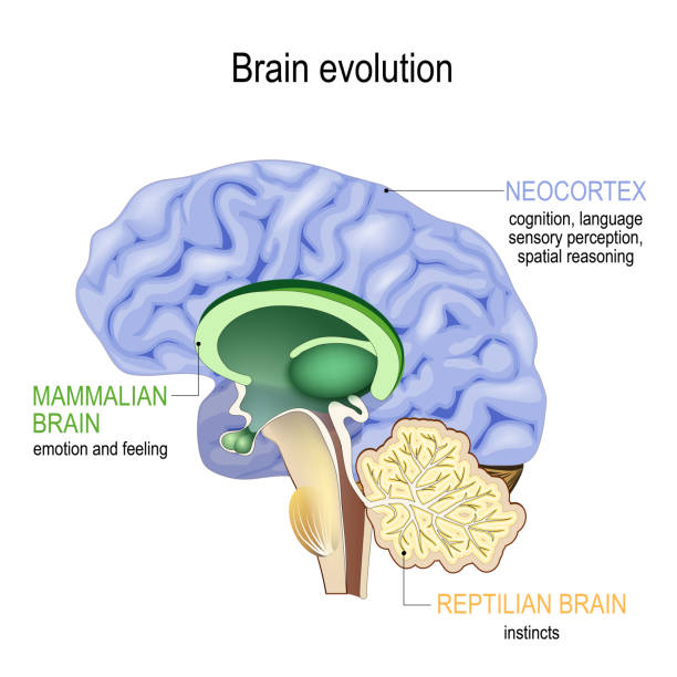 Brain evolution. Triune brain: Reptilian complex, mammalian brain and Neocortex Brain evolution. Triune brain: Reptilian complex (basal ganglia for instinctual behaviours), mammalian brain (septum, amygdalae, hypothalamus, hippocamp for feeling) and Neocortex (cognition, language, sensory perception, and spatial reasoning).  Cross section of the human brain. Vector illustration for medical, biological, educational and science use brain stem stock illustrations