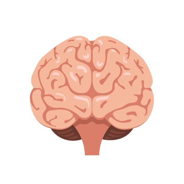 Brain front view icon vector art illustration