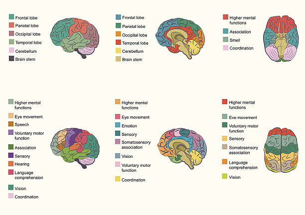 brain function Human brain anatomy, function area, mind system occipital lobe stock illustrations