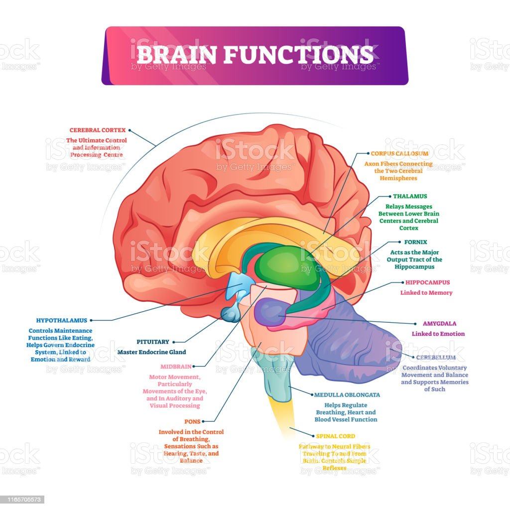 Brain Functions Vector Illustration Labeled Explanation