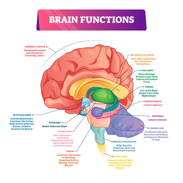 Brain functions vector illustration. Labeled explanation organ parts scheme Brain functions vector illustration. Labeled explanation head organ parts scheme. Inner side view with educational section description. Cerebral cortex, hypothalamus, spinal cord and thalamus diagram. brain stem stock illustrations