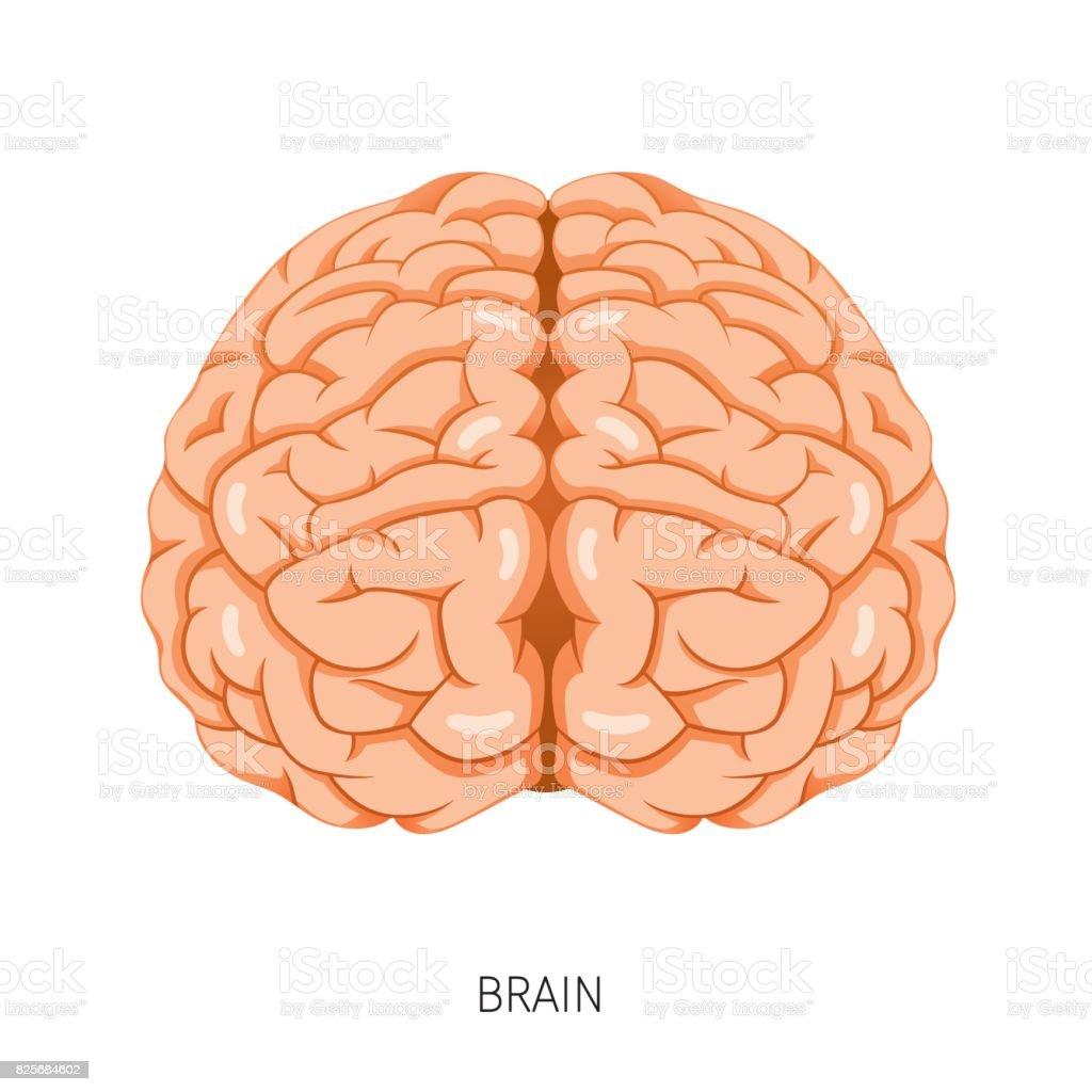 Brain Human Internal Organ Diagram Stock Vector Art More Images Of