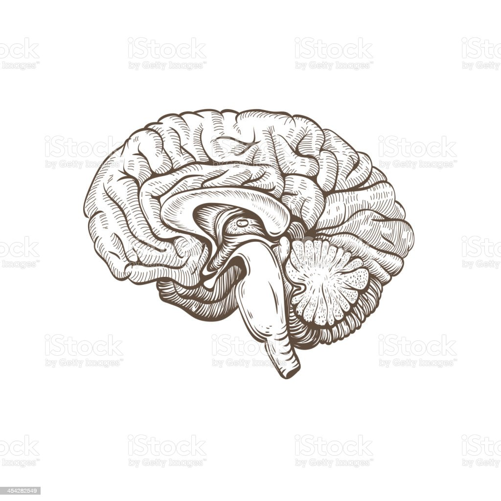 Brain isolated on a white backgrounds vector art illustration