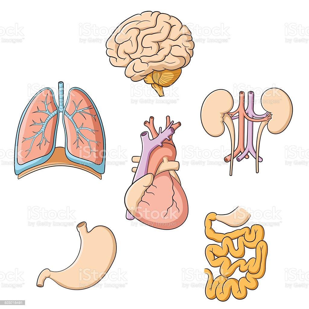 Ilustración de Cerebro Los Pulmones Corazón Riñón En El Estómago Los ...