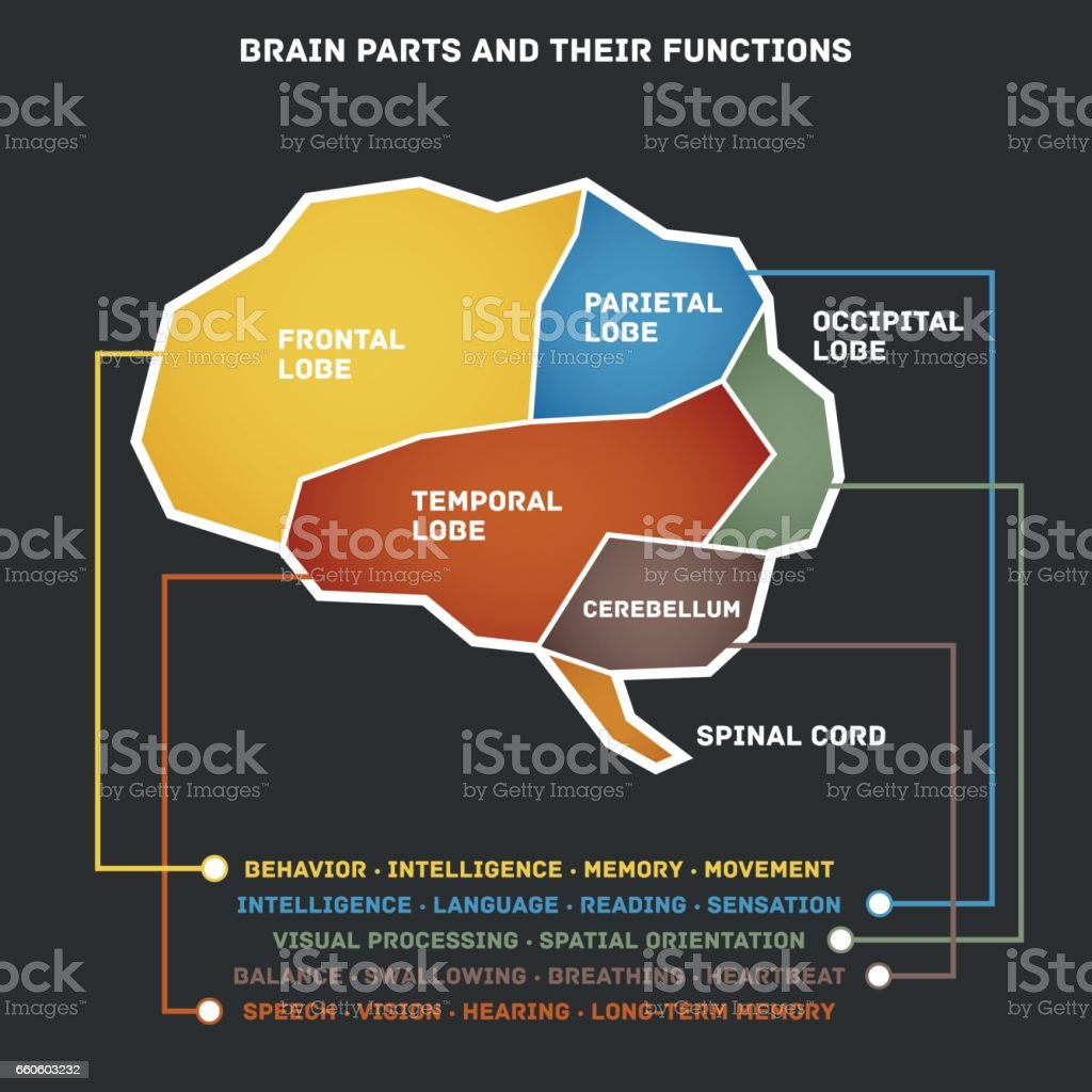 Brain Parts And Their Functions Stock Vector Art & More Images of ...