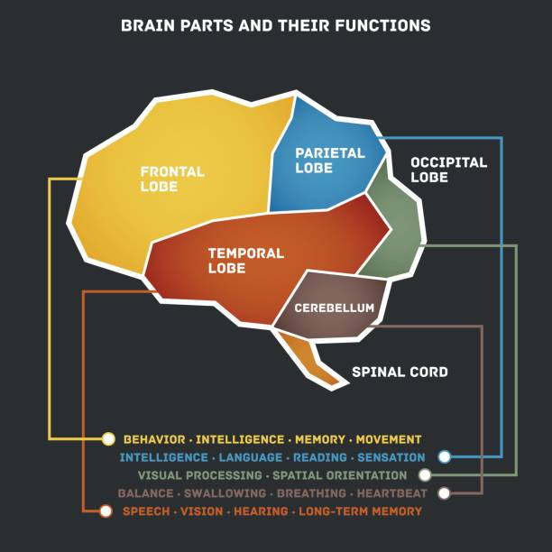 Brain parts and their functions Vector illustration of the brain parts and their functions. temporal lobe stock illustrations