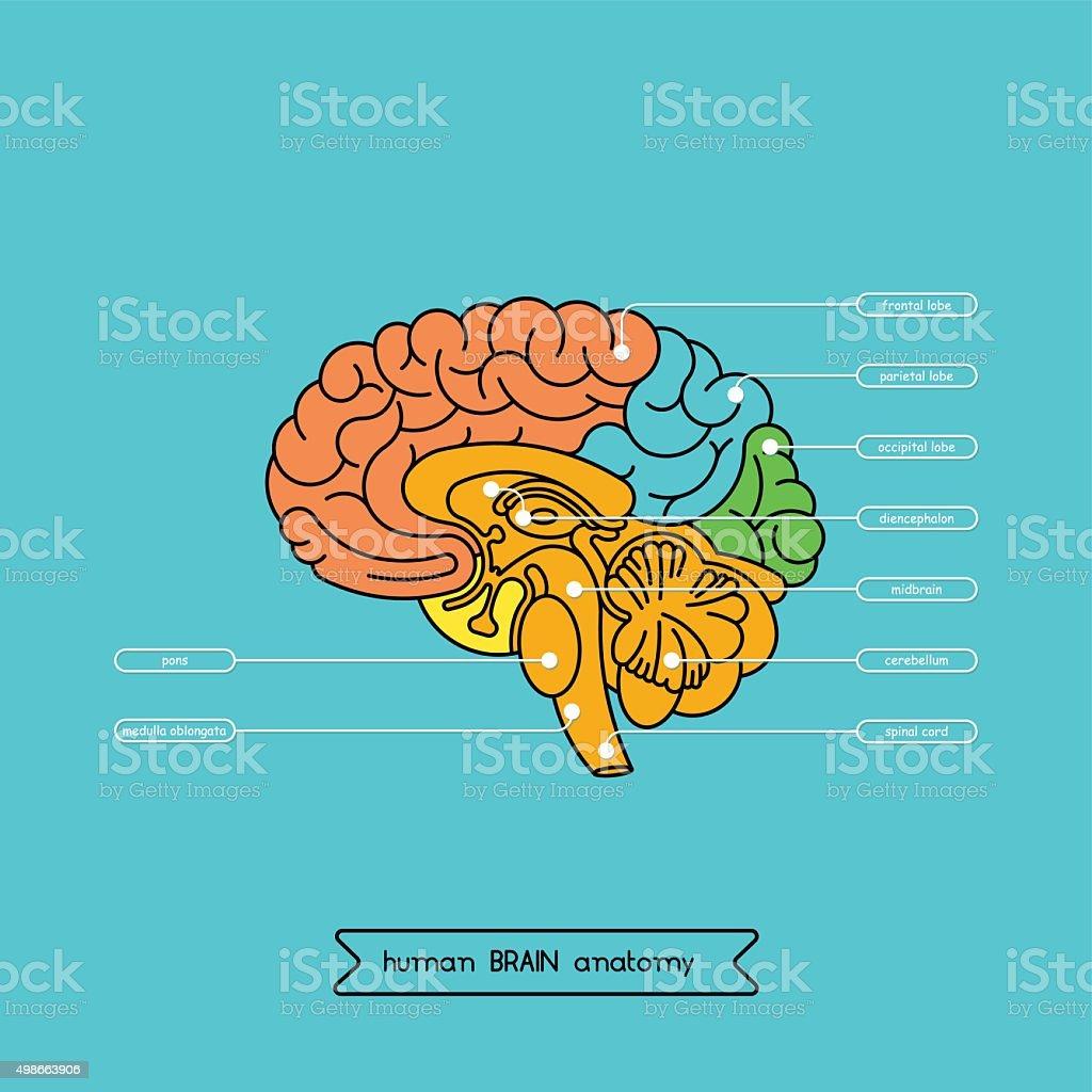 Cerveau section 1 - Illustration vectorielle