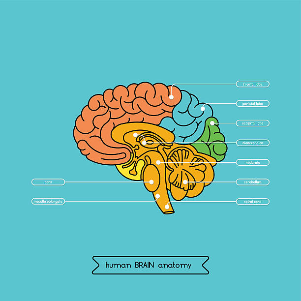 Brain section 1 Schematic illustration of human cerebrum. Made in vector, easy recolor. brain stem stock illustrations