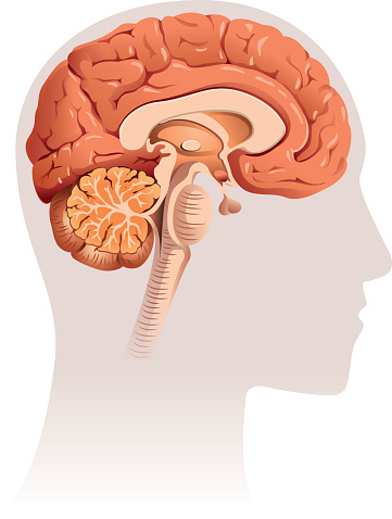 Sagittal section of brain, vector file coloured with gradient and easy to change colour