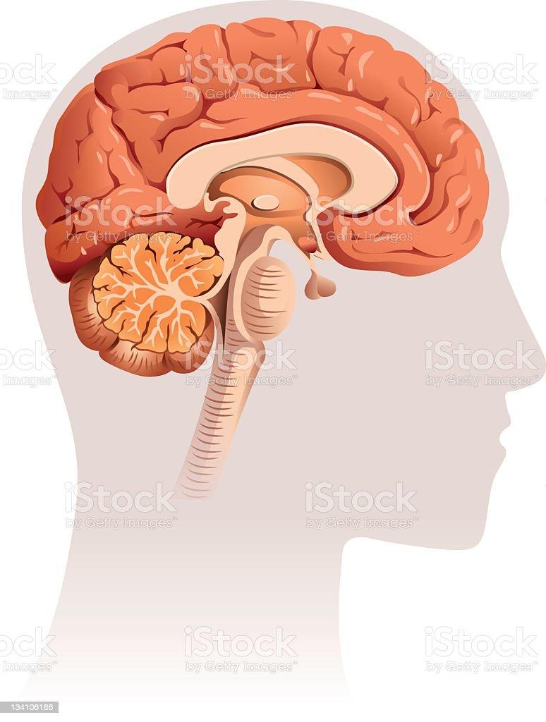 Brain section vector art illustration