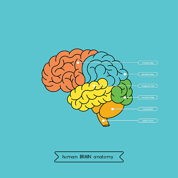 Brain side 1 Schematic illustration of human cerebrum. Made in vector, easy recolor. hippocampus brain stock illustrations