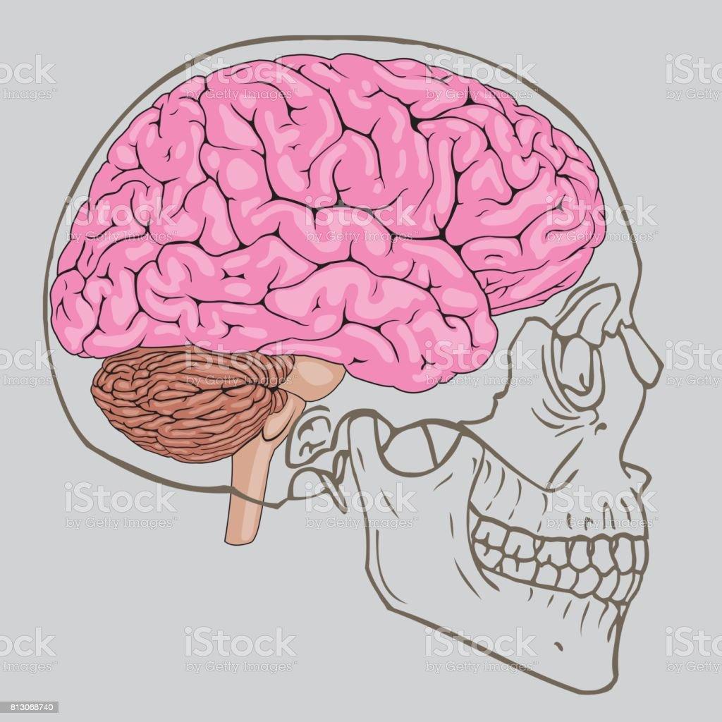 Perfecto Cráneo Y La Anatomía Del Cerebro Patrón - Imágenes de ...