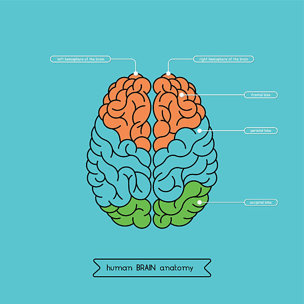 Brain top 1 Schematic illustration of human cerebrum. Made in vector, easy recolor. temporal lobe stock illustrations