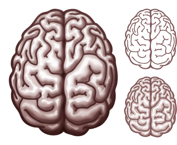 Brain. Top view vector art illustration