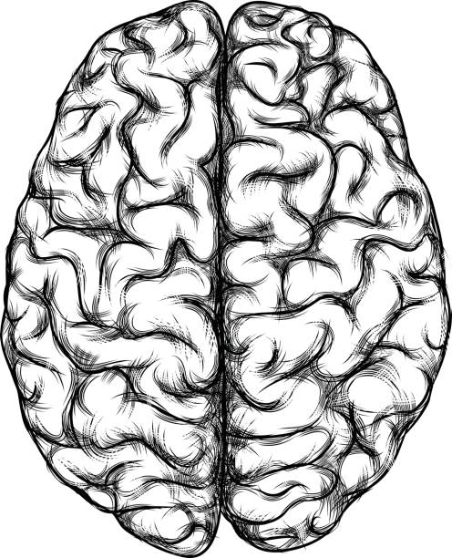 Top View Of Brain Drawing Illustrations, Royalty-Free ...